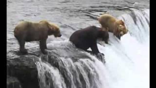 Bären in Alaska