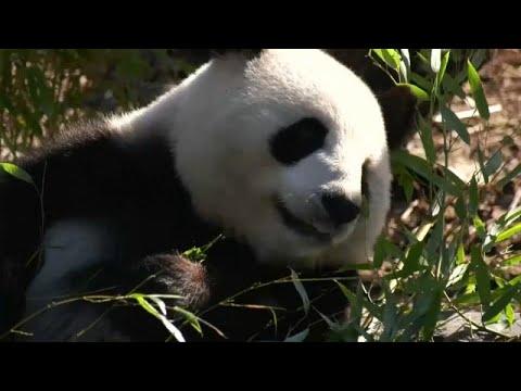 العرب اليوم - شاهد: أنثى الباندا العملاقة المعارة من الصين  منغ منغ حامل