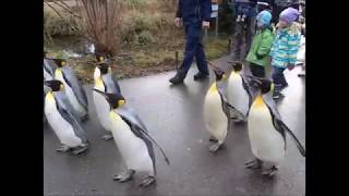 Basel Zoo Pinguin Spaziergang Und Neues Zuhause