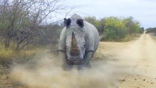 НОСОРОГ ПРОТИВ бегемота, льва, слона, буйвола, кабана и даже динозавра! Носорог в ДЕЛЕ!