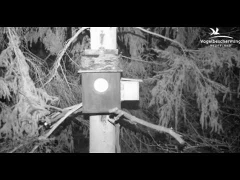 Tawny Owls: Male Calls to Signal Prey - 27.03.17