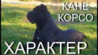 Порода Кане Корсо. Характер собак. #КанеКорсоХарактер  #Канекорсо