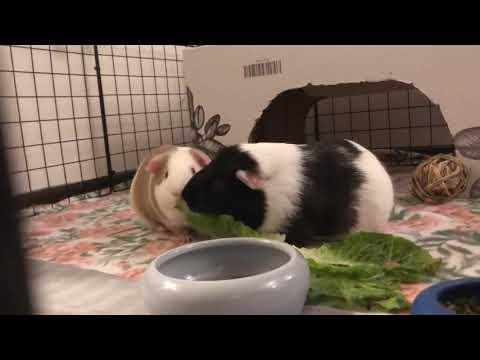 Cream, an adopted Guinea Pig in Saint Paul, MN