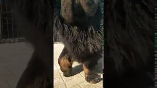 The Tibetan mastiff looks like a lion