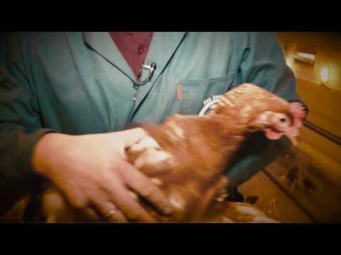 Bodenhaltung - Tiergesundheit