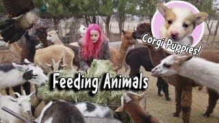 Winter Feeding Routine | Llamas, Corgi Puppies, Peacocks