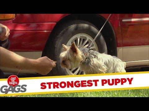 Conheça agora o cachorro mais forte do mundo!