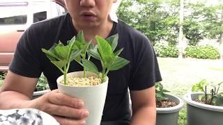 動画で家庭菜園『2017年verアジサイ増やすよ!挿木します。』H29.6.22