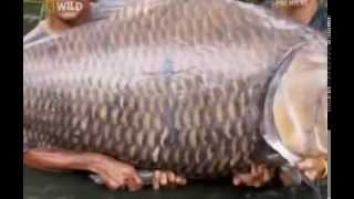 Самые крупные карпы пойманные на рыбалке