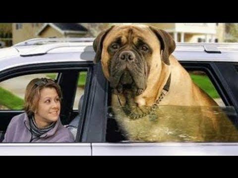 ¡Los 10 Perros Más Grandes Del Mundo!