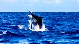 1200lb Black Marlin Cairns Grander Hot Shot Charters