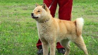 2011年北海道犬品評会「ヒグマと戦う猛犬」