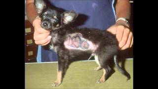 symptoms of worms in dogs | symptoms of heartworms in dogs : signs of heartworms in dogs