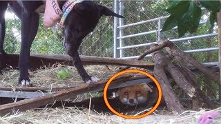 Farmer Is About To Shoot This Baby Fox. When He Goes For His Gun The Unexpected Happens