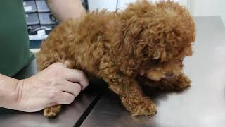 A poodle puppy vomits a few times. Why?