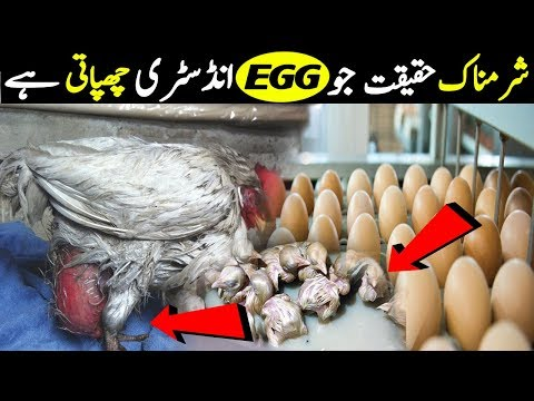 Darkest Secret The Egg Industry Doesn't Want You to Know Urdu/Hindi