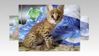 Котята СЕРВАЛА на продажу!