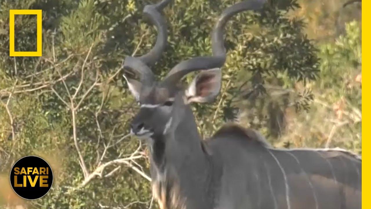 Safari Live - Day 11 | National Geographic thumbnail