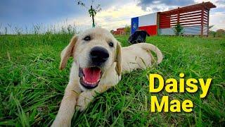 World's Happiest English Cream Golden Retriever Puppy Playing With Farm Animals