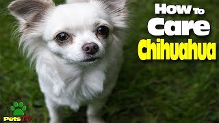 LOOK HOW TO CARE A CHIHUAHUA