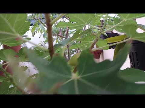 Sung mỹ trên chín - Sung nhập từ Pháp của vườn dâu Biofresh