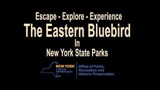 Eastern Bluebird video short