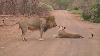 Male Lion Marking His Territory After Mating