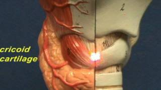 Larynx - Anterior View