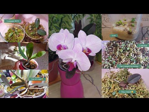 Фаленопсис из собственных семян!.. Первое цветение!..  Краткая история развития )