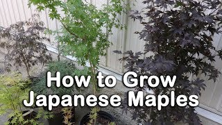 All About Japanese Maples - Weeping and Upright Varieties, Heights, Leaf Color Information