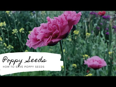 How to Save Poppy Seeds 🌸 Gardening