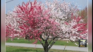 "ZNews - ""Tree of 40 Fruit"" Grafting Begins"