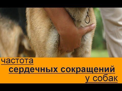Первая помощь собаке частота сердечных сокращений