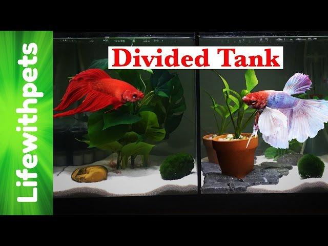 Divided Betta Fish 10 gallon Tank Tour.