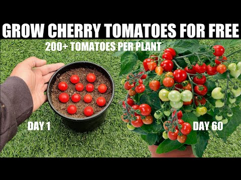 , title : 'How To Grow Tomatoes | Cherry Tomatoes'
