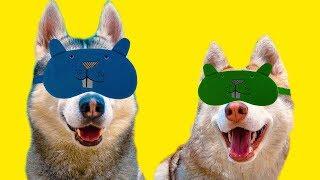 НАЙДИ ЕДУ С ЗАВЯЗАННЫМИ ГЛАЗАМИ! 🙈 (Хаски Бандит) Говорящая собака