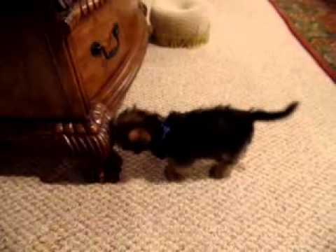 Parker is a first generation Shorkie.