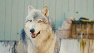 Boise the Gray Wolf | Animal Spotlight