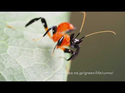 ハナカマキリの1齢幼虫のジャンプ Orchid mantis 1stinster jumping