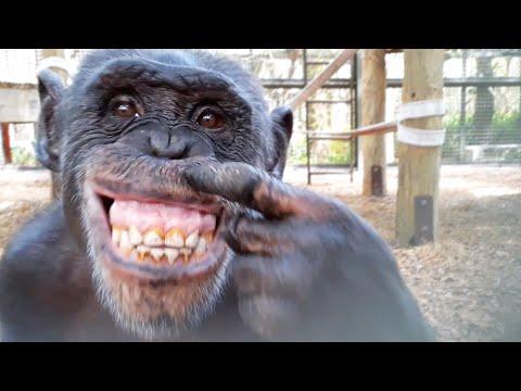 Esto Pasa Cuando Un Chimpancé Se Ve En Un Espejo
