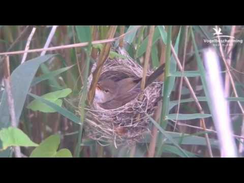 02.07.17 (Singen auf dem Nest)