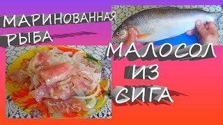 Маринованная рыба, Малосол из Сига,