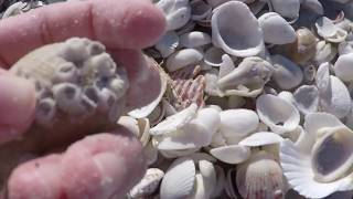 How to Find Shells on Sanibel Island!