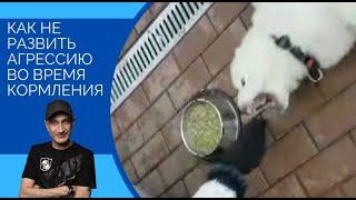 Как НЕ развивать агрессию во время кормления(щенок кавказской овчарки)