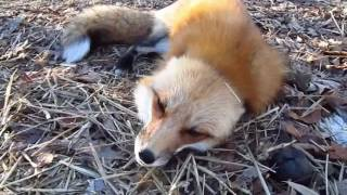 Ylvis & the real animals -What does the fox say