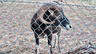 An Aggressive Soay Sheep