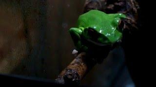 モリアオガエル向きをカエル。ForestGreenTreeFrogRhacophorusarboreus