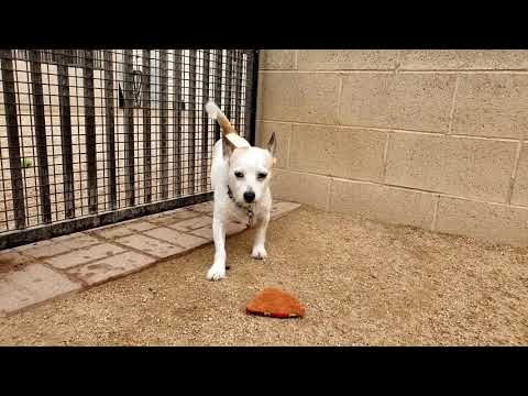 RITCHIE, an adoptable Cairn Terrier Mix in Phoenix, AZ
