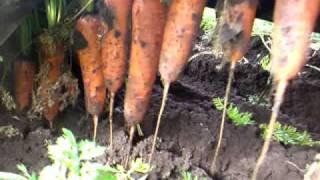 ヤンマー carrot Harvesting