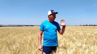 Яровой ячмень Гелиос ранний 90-93 дней. Высокоурожайный сорт Гелиос с отличной устойчивостью к засухе, болезням. Элита от компании ТД «АВС СТАНДАРТ УКРАЇНА» - видео 3